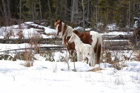 merrie: Wilde paarden, een pinto mare en een witte veulen in de wildernis van northern Alberta, Canada.