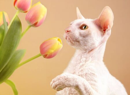 A white Cornish Rex cat playing with some spring tulips.