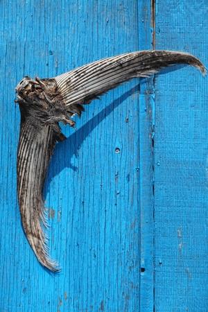 atun rojo: Una cola de un clavado en la puerta del cobertizo de cebo de los pescadores de at�n.  At�n de aleta azul son parte de la pesca comercial en la isla del Pr�ncipe Eduardo, Canad�.