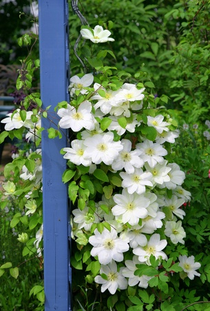 White flowering clematis climbing up an arbour in a backyard garden. Stock Photo