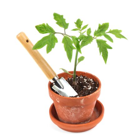 Young tomato seedling in a clay pot with a garden trowel. photo
