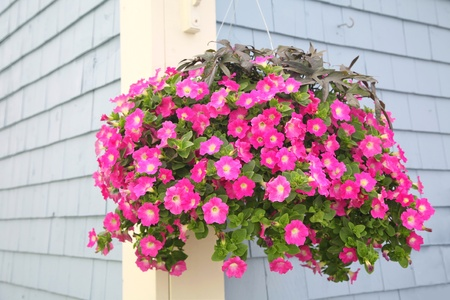 A vibrant hanging basket full of purple petunias hanging outside as a decoration on the wall of a building.