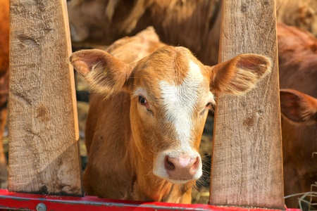 An ayrshire cross calf in a farm paddock. photo