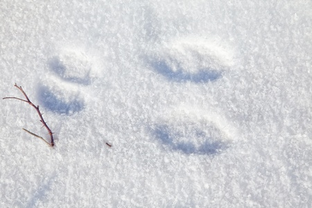 Rabbit tracks in icy snow. photo