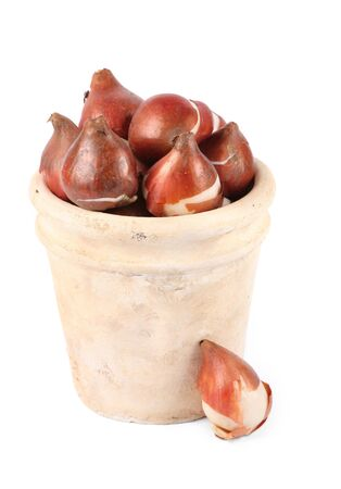 Tulip bulbs in an ornamental plant pot against a white background. Stock Photo