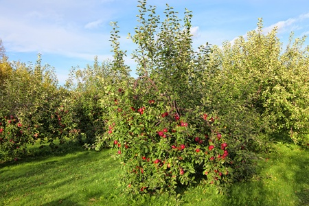 Commercial apple orchard loaded with apples.