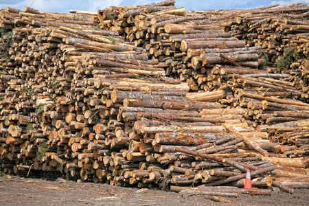 Piles of spruce logs waiting to be processed at a pulp and paper mill.  스톡 콘텐츠