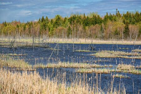 The trunks of dead spruce trees in a northern bog or swamp. photo