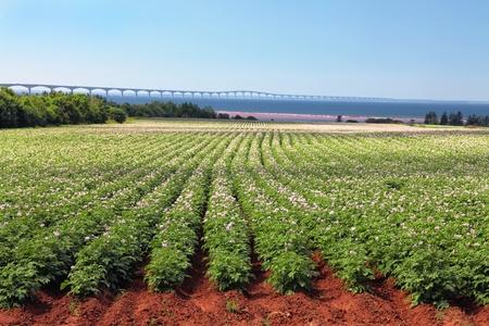 confederation: Filari di piante fiorite di patate in un campo di patate con il Confederation Bridge sullo sfondo lontano. Archivio Fotografico