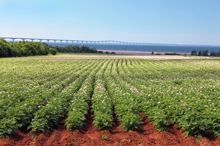 farm structure: Rows of flowering potato plants in a potato field with the Confederation Bridge in the distant background.