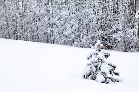 A small spruce tree in a field of snow in the winter landscape. photo