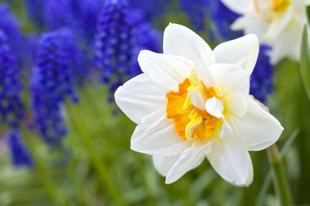 White daffodils against a background of blue muscari in the spring garden. Stock Photo