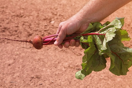 A man holding a beet freshly pulled from the ground.