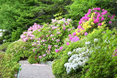 A path goes through a group of blooming rhododendrons and azaleas in the spring garden.