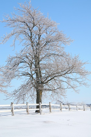 A maple tree covered in frost and ice on farmland in rural Prince Edward Island, Canada.