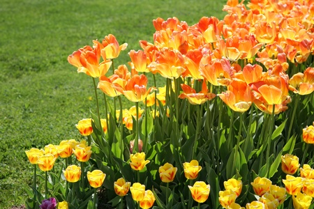 Orange and yellow tulips in the home garden.