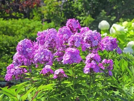 Tall pink perennial phlox in the summer garden.