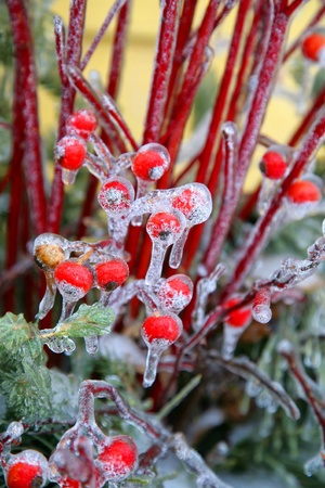 A doorstep decorative Christmas pot full of rosehips, evergreen boughs and dogwood stems, all covered in ice.