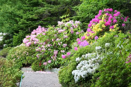 garden path: A path goes through a group of blooming rhododendrons and azaleas in the spring garden.