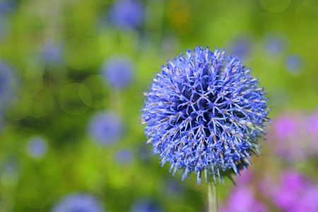 perennials: Flowering globe thistle in the summer garden. Selective focus. Stock Photo