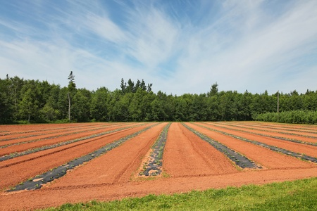 Field of commercially grown watermelons on black plastic mulch.