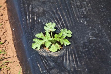paillis: Une usine de past�que jeune cultiv� sur paillis de plastique noir dans une ferme commerciale de past�que.