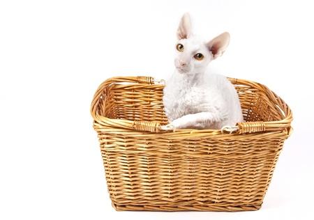 A purebred Cornish Rex cat in a wicker basket.