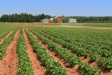 Rows of potatoes on a Prince Edward Island Farm.