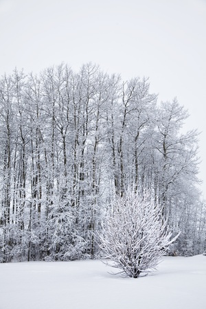 Deciduous trees and shrubs covered in frost and snow in the winter landscape.