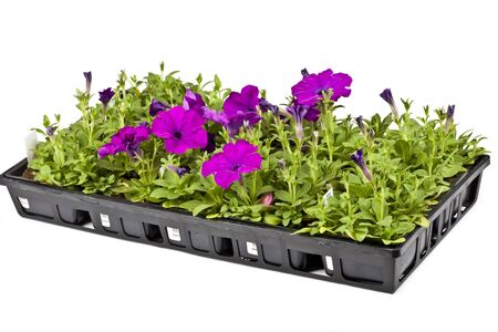 petunia: A plastic flat of petunia seedlings fresh from the greenhouse ready to be planted in the garden. Stock Photo