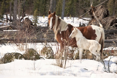 alberta: Wild horses, a pinto mare and a white foal, in the wilderness of northern Alberta, Canada. Stock Photo