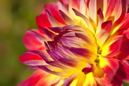 Detail of a hybrid dahlia flower in the summer garden.  Shallow depth of field.
