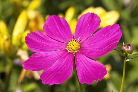 Brilliant pink cosmos in the summer garden  Stock Photo