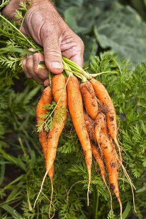 A bunch of freshly pulled farm fresh carrots. photo