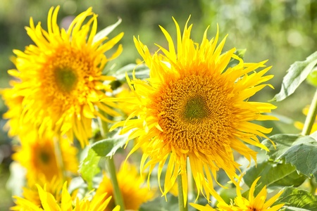 A fantasy  sunflower back lit, with the variety name of Aura Sunburst, growing in the summer garden. photo