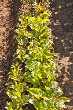 Rows of young beet plants. Stock Photo