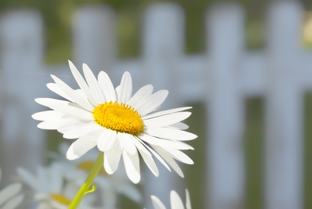Shasta daisy in front of a white picket fence in the summertime garden.