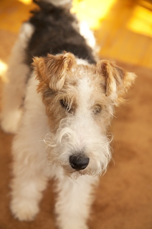 An adult Wire Hair Fox Terrier in a home enviroment.