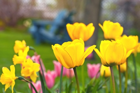 Tulips in a springtime home garden with Adirondack chairs in the background.