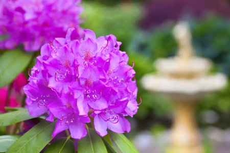 Lavender pink azalea plant in the foreground with a defocused water fountain in the background of a springtime garden.