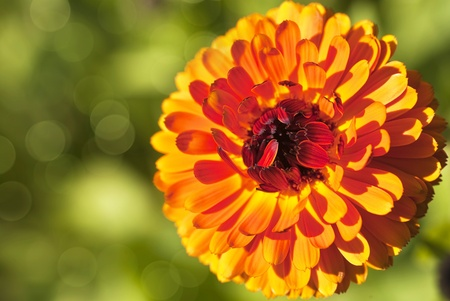 calendula: Calendula or pot marigold in the summer garden. Botanical name is calendula officinalis.