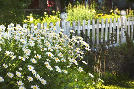 Shasta daisies in front of a white picket fence in the summertime garden.
