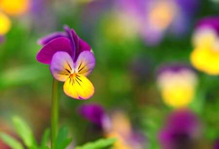 Heartsease or Johnny Jump Up (Viola tricolor) in the springtime garden. photo
