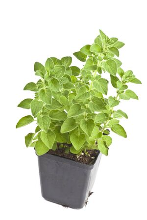 oregano plant: Young oregano plant fresh from the greenhouse grower.