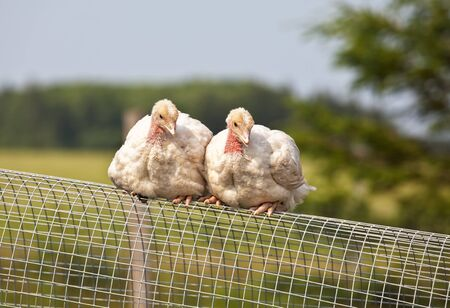 turkey feather: Two free range half grown turkey chicks on an organic farm.