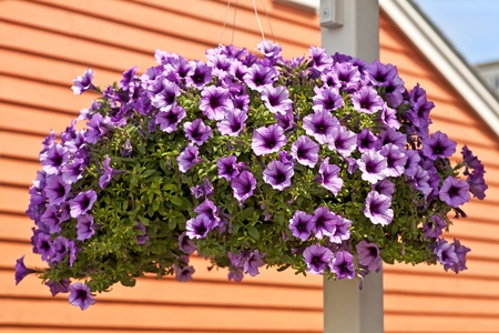 A hanging basket full of purple petunias
