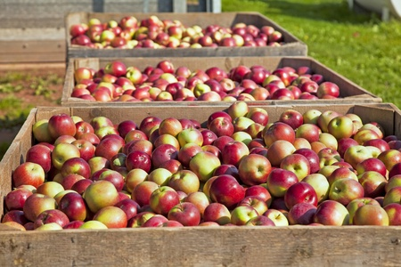 The fresh picked apple harvest in wooden bins on the farm. photo