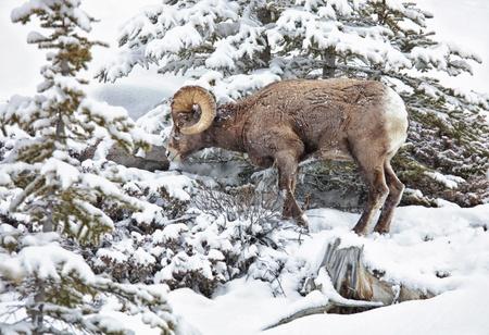 Bighorn sheep foraging on a snowy mountain hillside in Jasper National Park, Alberta,Canada. Stock Photo - 13163909
