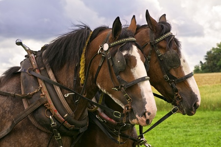 horse collar: Matching team of bay Clydesdales with white blazes, in harness, with horse collars and blinkers