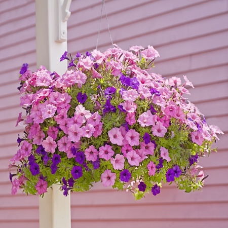 flower baskets: Hanging basket of pink and purple petunias.